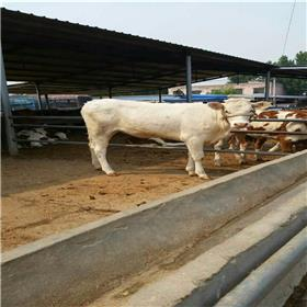 夏洛莱繁殖母牛 黄牛价格 肉牛价格 山东正规养牛场