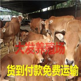 鲁西黄牛繁殖母牛 牛价格 肉牛养殖利润分析 正规小牛犊养殖场