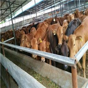改良鲁西黄牛 草料 牛羊 农村合作项目 山东淄博养牛场