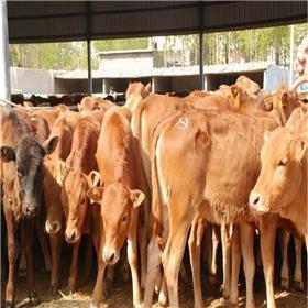 三元杂交牛牛犊 安格斯小牛 纯种西门塔尔牛牛犊 肉牛犊养殖场 正宗小牛犊