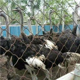 一只非洲鸵鸟一年下多少枚蛋 哪里回收成年商品鸵鸟 大型鸵鸟养殖场