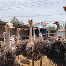 南方适合养殖非洲鸵鸟吗 哪里卖种鸵鸟 成年鸵鸟价格