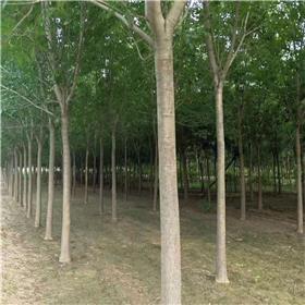 白蜡  优质白蜡树苗   速生白蜡树