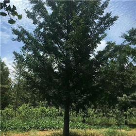 30公分银杏树大树批发 兴隆苗木 银杏树价格 杆直
