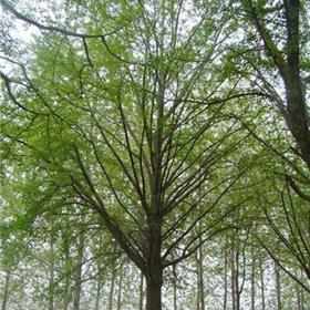 实生银杏树35公分大树 银杏树批发价格 胸径30公分银杏树批发价格表 兴隆苗木