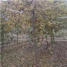 厂家现货价格从优五角枫  公园绿化工程五角枫
