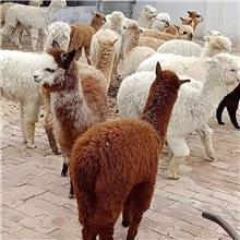 稀奇小动物养殖羊驼  羊驼数量多 品种全
