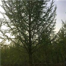 米径12公分白果树 兴隆苗木 白果树批发 12公分白果树报价 12公分实生白果树