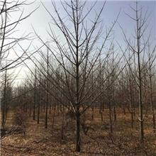 12公分白果树 兴隆苗木 白果树批发 胸径12公分实生白果树
